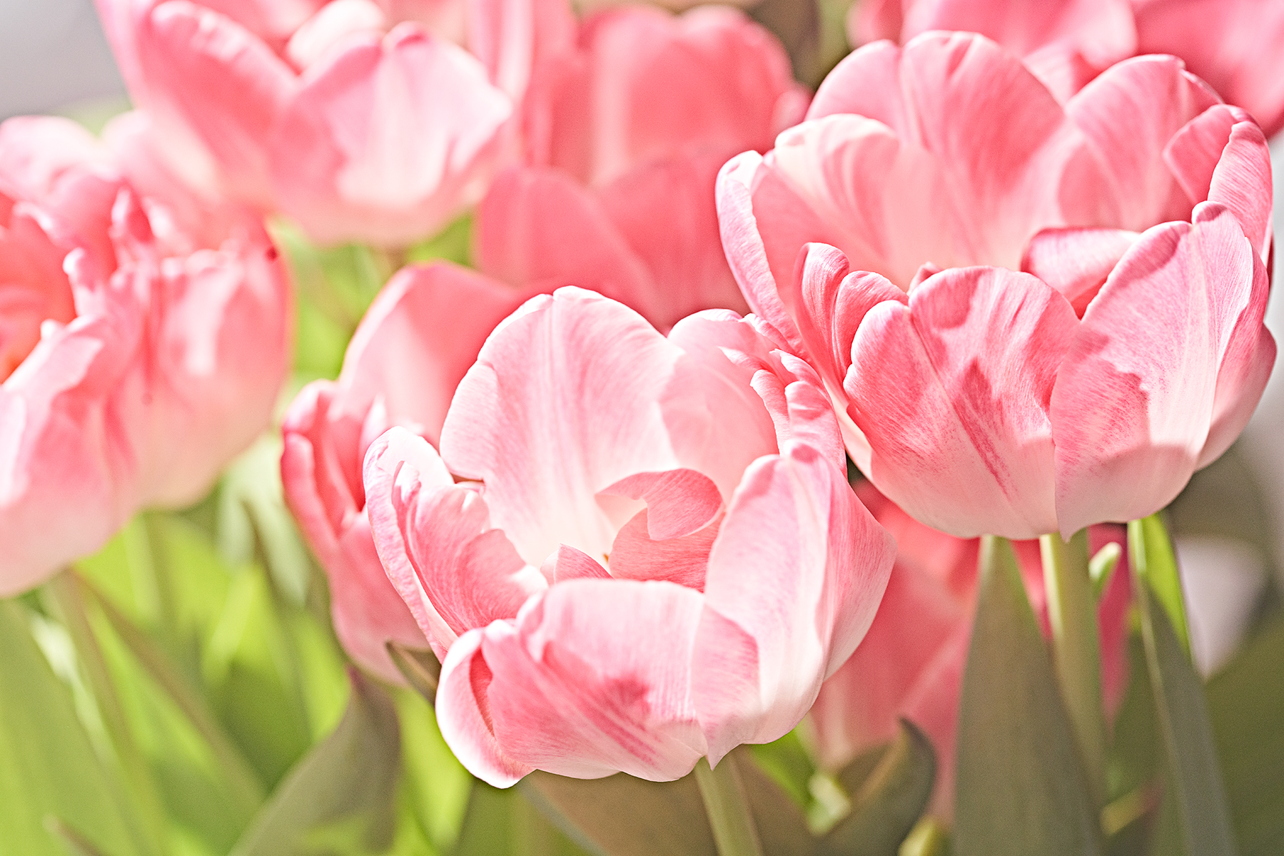 Close-up of pink tulips.